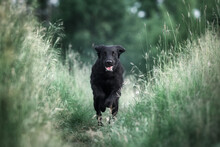 Flat Coated Retriever Is Running On A Stubble Field In The Sunshine