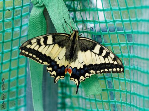 Fotografie, Tablou Papilio machaon   Un machaon ou Grand porte-queue, vue de dessus, aux ailes colo