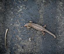 Jaszczurka Zwinka Ranna Bez Ogona