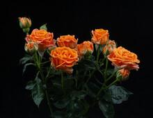 Orange  Rose Isolated On Black Background