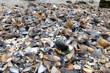Shells On The Beach Mussels