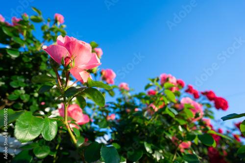 バラの花 屋外イメージ Fototapete