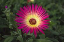 Pink And Yellow Mesembryanthemum Flower