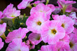 canvas print picture - Vintage or rural garden design lush blooming colorful common garden petunias in an old weathered dew pond blurred background. Hot Pink and white Petunia hybrid flowers