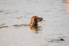 An Old Brown Dachshund Dog Stands In The Water On The River Bank And Looks Into The Distance At Its Owner. The Dog Cools In A Pond. Pet Animal Bathes In The Lake. Dachshund Swim Summer Time