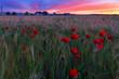 Amapolas en un campo de trigo en primavera. Madrid. España. Europa.