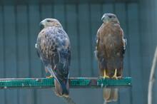 Long-legged Buzzards, Buteo Ru...