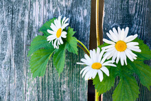 Chamomile Flowers And Plant Loach With Large Green Leaves On A Wooden Background.