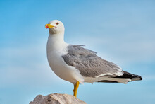 This Seagull Is Waiting For Th...