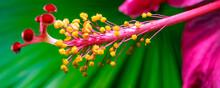 Hibiscus Rosa-sinensis, Chines...