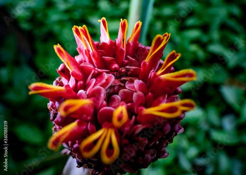Etlingera elatior macro with green background torch ginger, ginger flower, red g Canvas Print