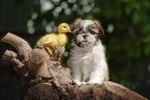 Shih Tzu Cute Duckling And Pup...