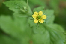 Beautiful Yellow Avens Flowers Blooming In The Garden