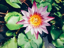 Purple Water Lily Or Purple Lo...