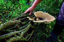 Mushroom Growing On A Trees Ro...