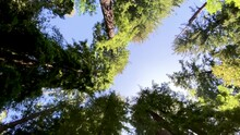 Nice Wide Angle Shot Looking Up Through Majestic Tall Redwood Trees With Blue Sky And Sun Filtering Through As Camera Slowly Moves Forward Under Trees