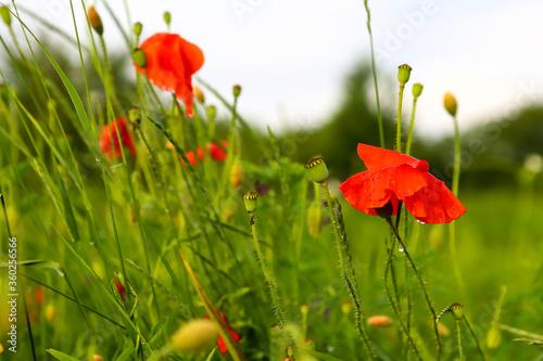 Fototapeta Red poppy with drops of dew after rain in a field of green barley. Close up of rain falling on poppy flower. obraz na płótnie
