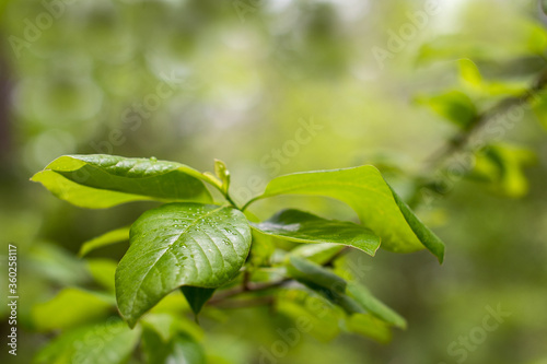 Close up of green leaves on a tree branch with soft focused green background and copy space ~INTO THE FOREST~