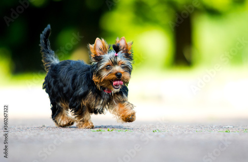 Cuadros en Lienzo Yorkshire Terrier puppy runs fast outdoors
