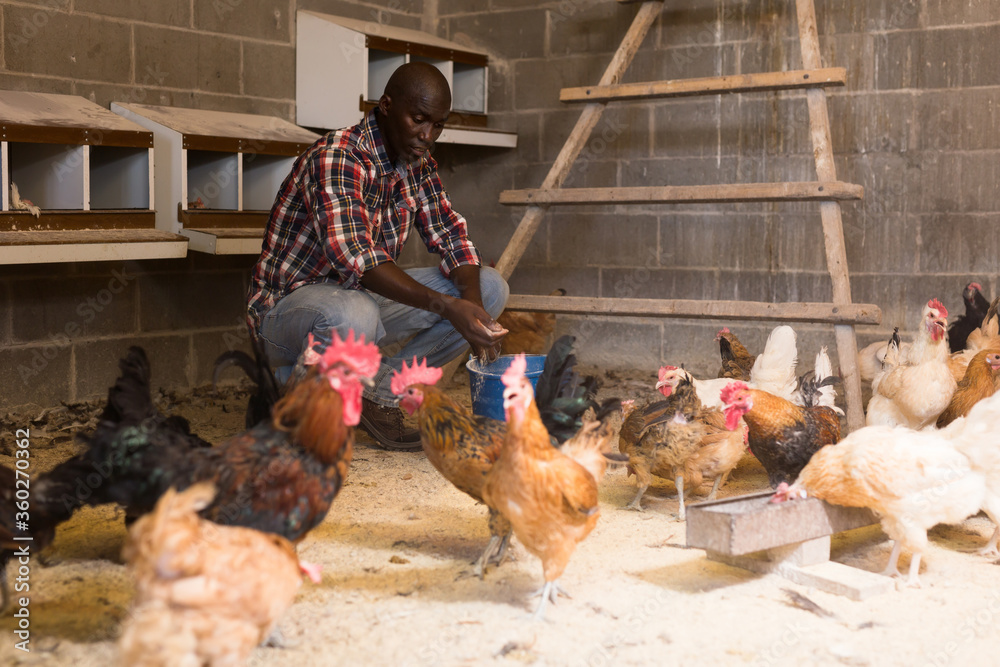 Fototapeta African american man farmer taking care  chickens at  chicken-house