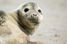 Seal Laying On Skagen Beach In...