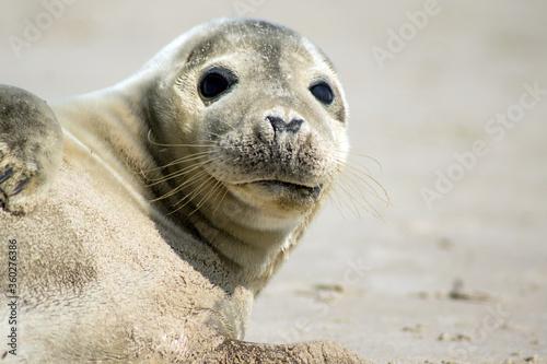 Foto Seal laying on Skagen beach in Denmark
