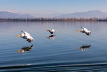 Three Dalmatian Pelicans Fly O...