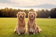 Pair Of Purebred Golden Retrie...