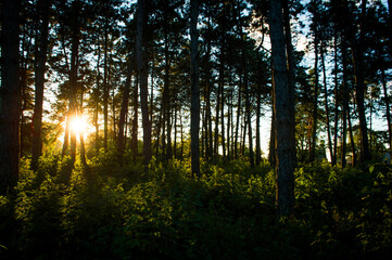 Trees in the sun. Sunset in the forest. Sunlight through tree branches. Trees at sunset.