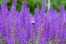 Bee Landing On Salvia Flowers