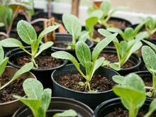 Bok Choy Seedlings In Nursery ...