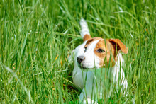Dog Jack Russell Terrier Lies In Tall Green Grass