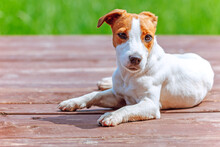 Dog Jack Russell Terrier Lies On A Wooden Terrace
