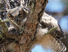 A Baby Great Horned Owl Looks ...
