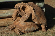 Mating African Spurred Tortoises