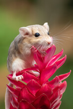 Cute Little Gerbil (dessert Rat)