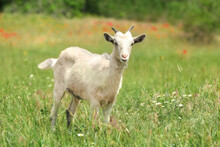 Cute Goat In Green Field. Anim...