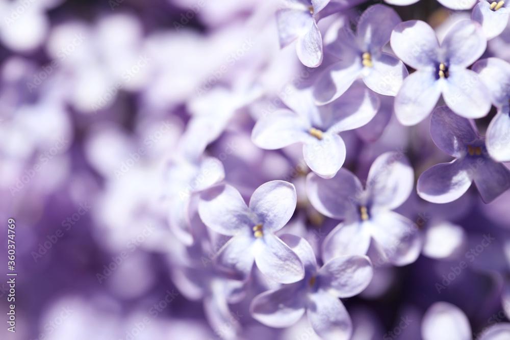 Fototapeta Closeup view of beautiful blooming lilac shrub outdoors