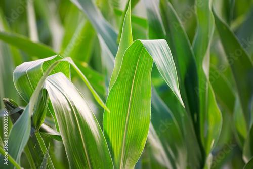 Obraz A close up of a blade of corn on a stalk in a field. - fototapety do salonu