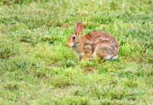 A Brown Rabbit In A Grassy Field.