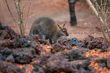 Bennett-Wallaby Im Zoo