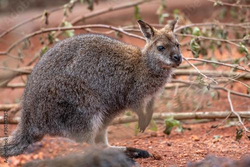 Foto Nahaufnahme von einem Bennett-Wallaby im Zoo