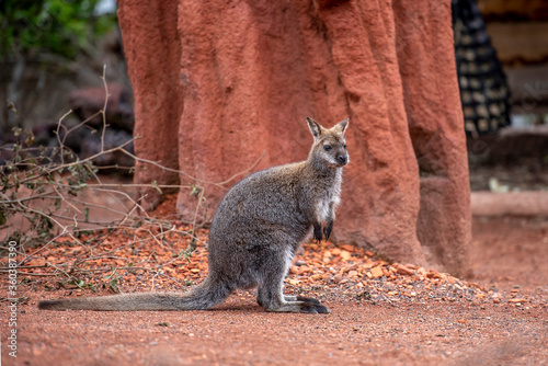 Photo Bennett-Wallaby im Zoo