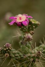 Blooming Cholla Cactus Flower