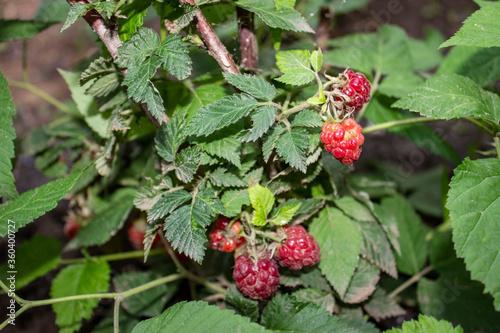 Fotografie, Obraz Raspberry berries ripened on the shrub