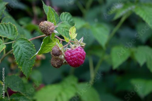 Photo Raspberry berries ripened on the shrub