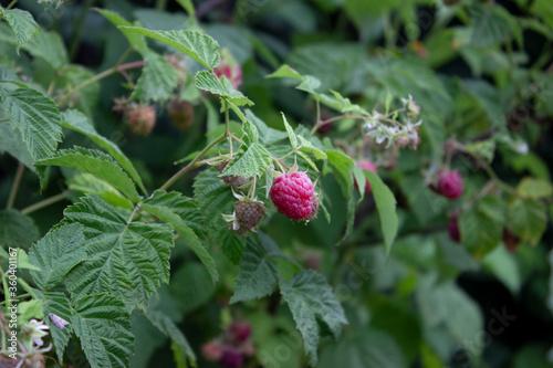 Raspberry berries ripened on the shrub Wallpaper Mural