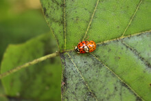 Two Ladybirds Mating On A Leaf...