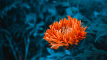 Pink Aster With Long Petals In...
