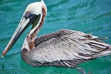 Pelikan Schwimmt Auf Ozean